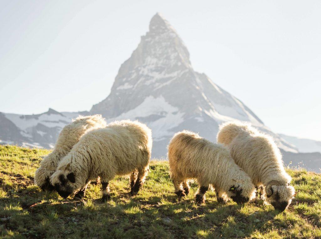 Schwarznasenschafe Zermatt