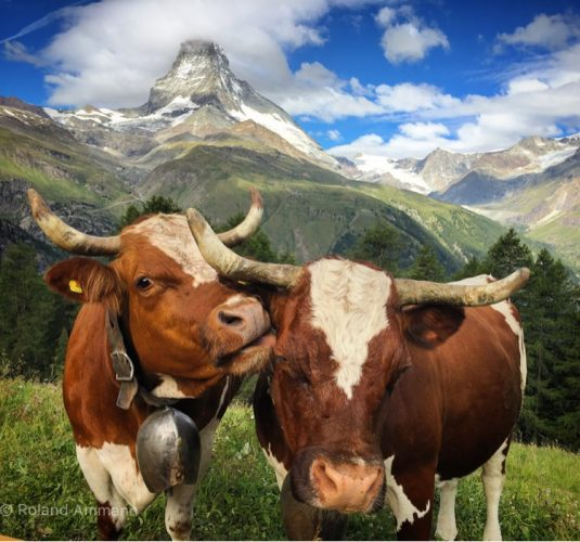 Cows on Riffelalp and the Matterhorn in the background