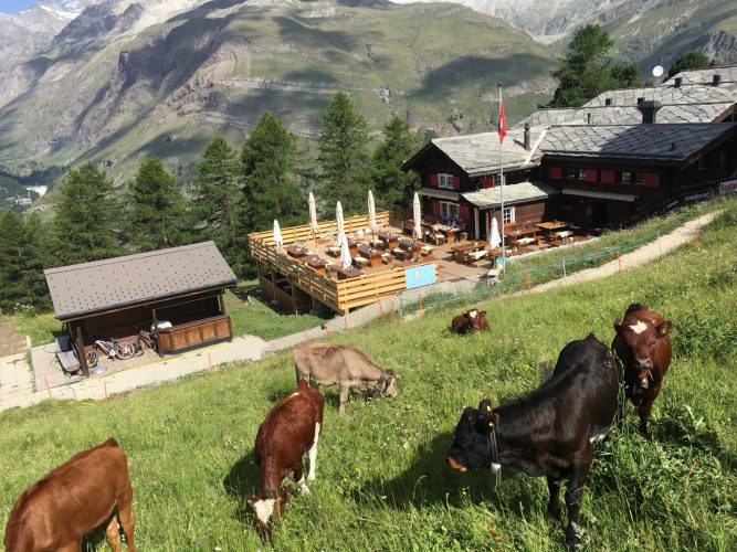 Calves of the Alpgenossenschaft Riffelalp in front of the Alphitta