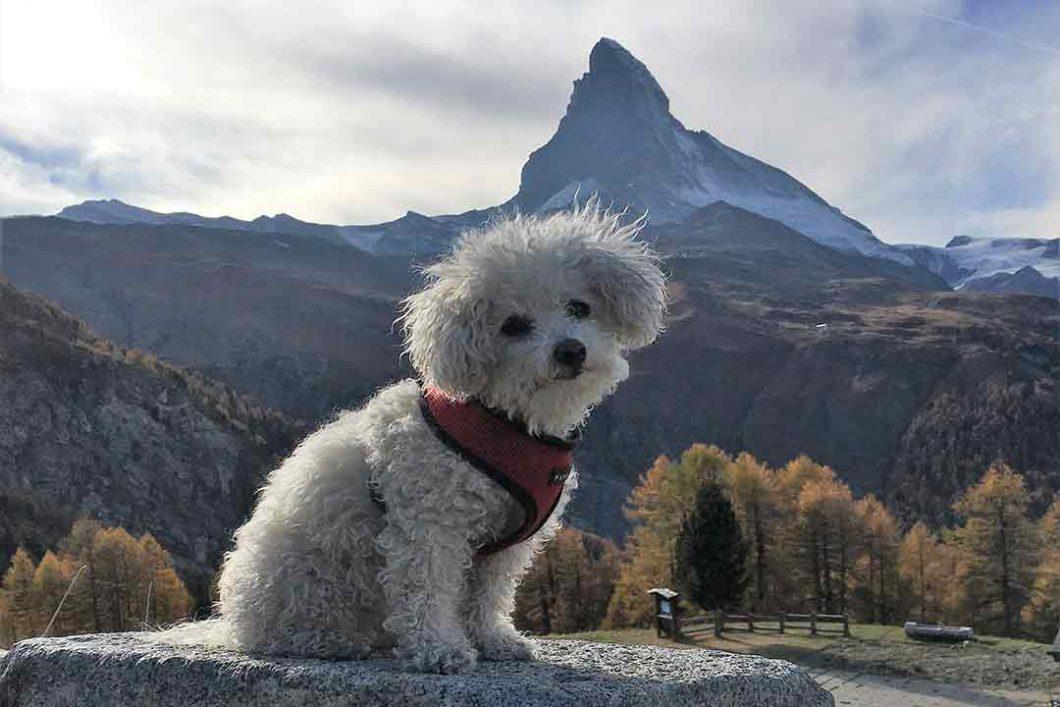 Hund vor dem Matterhorn