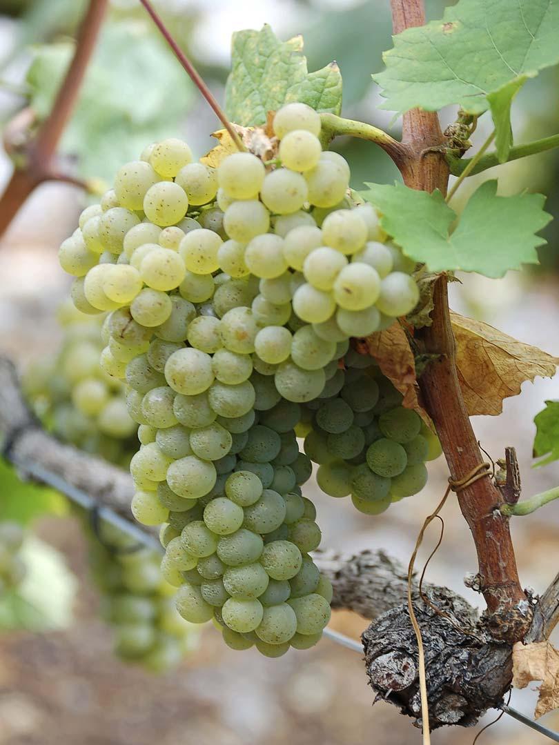 Traubensorte Petite Arvine