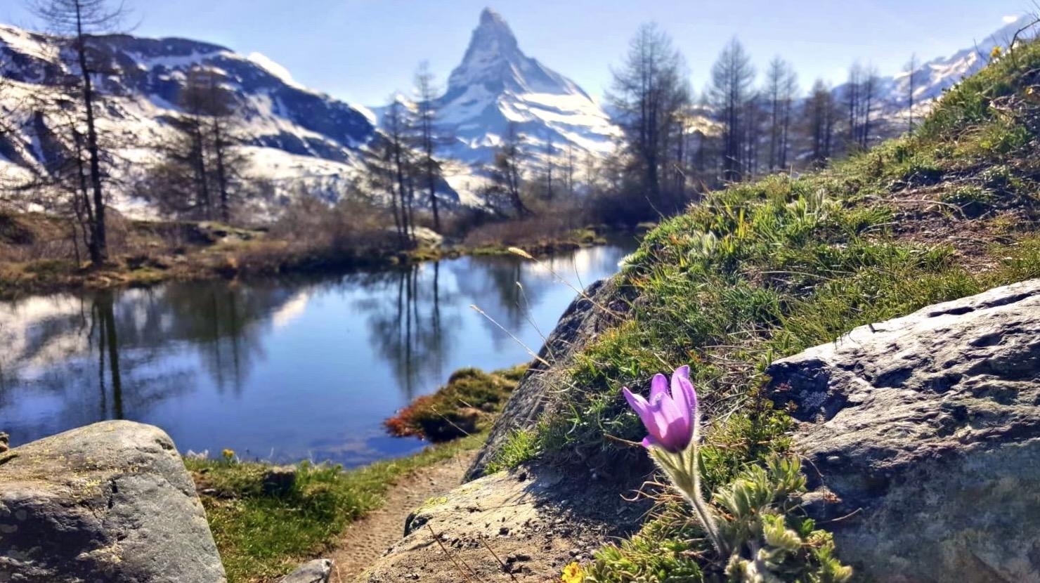 Eine Frühlingsblume vor dem Matterhorn